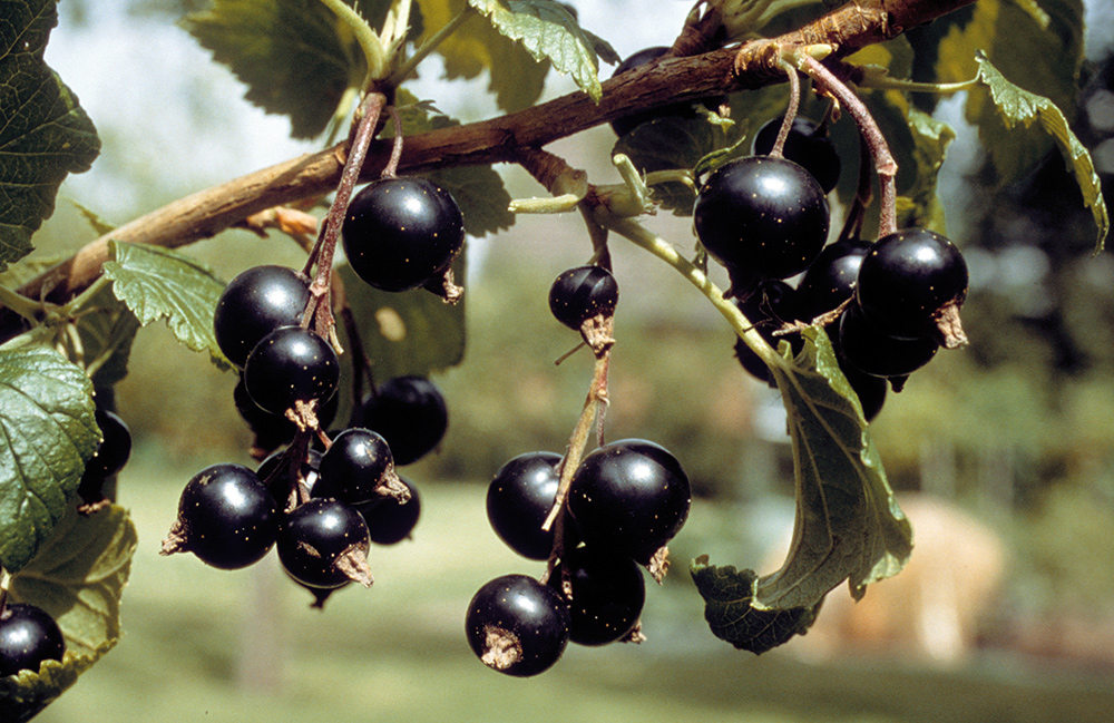 Fabelhaft Neudorff: Johannisbeeren (Ribes) &ZC_82
