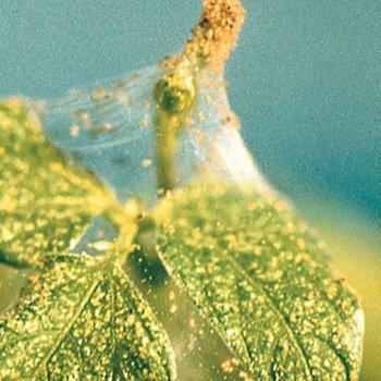 neudorff begonie eisbegonie schiefblatt begonia semperflorens hybriden. Black Bedroom Furniture Sets. Home Design Ideas