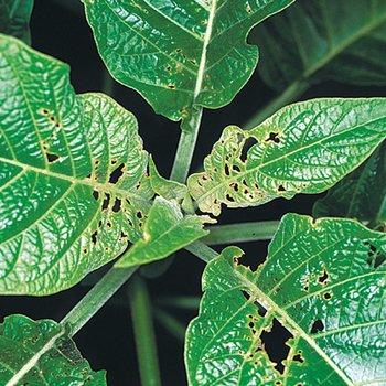 Neudorff engelstrompete datura synonym brugmansia - Synonym am besten ...