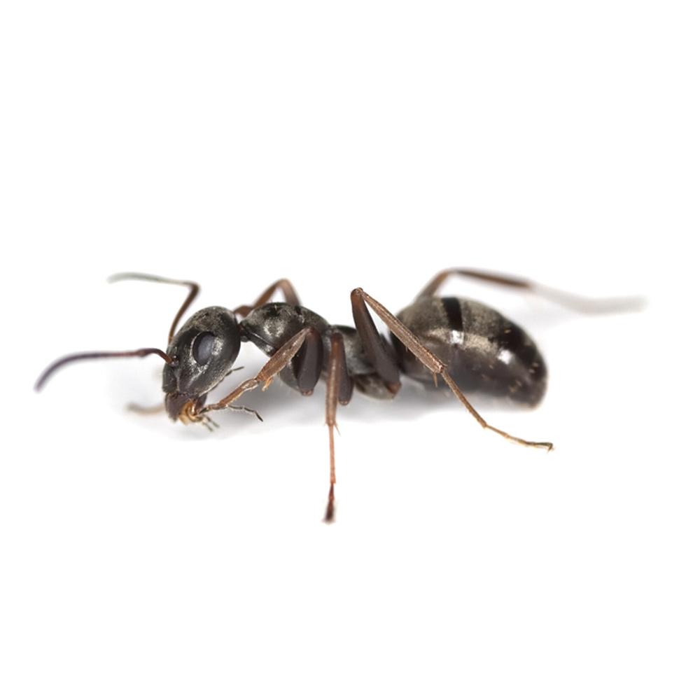 Neudorff Ameisen