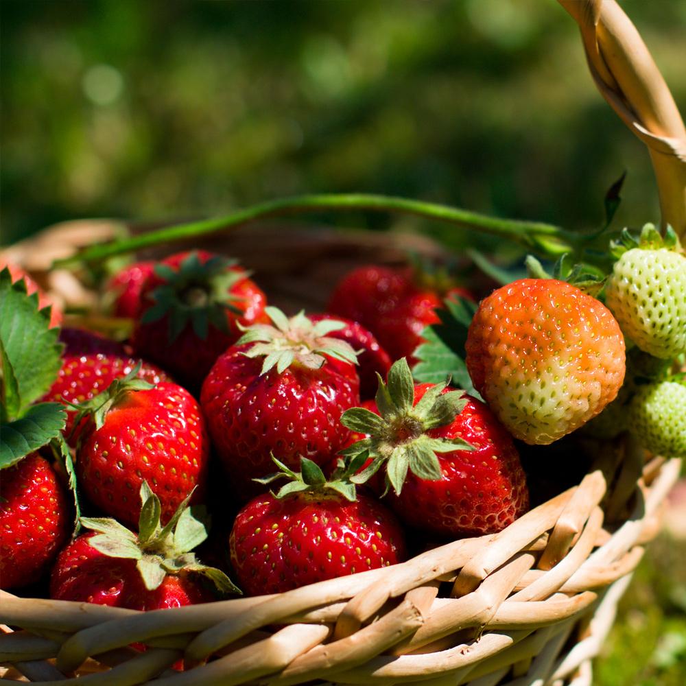 Neudorff Erdbeeren Fragaria X Ananassa