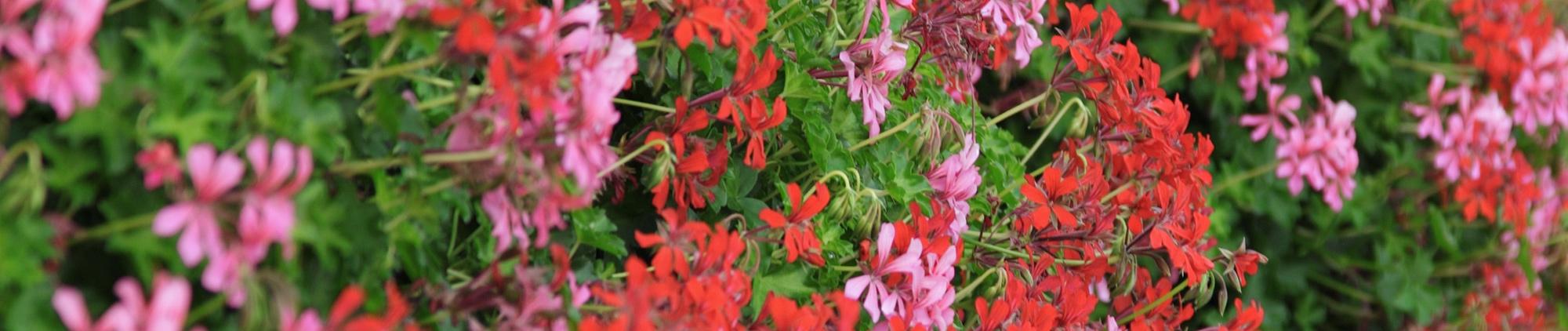 Neudorff Begonie Eisbegonie Schiefblatt Begonia Semperflorens