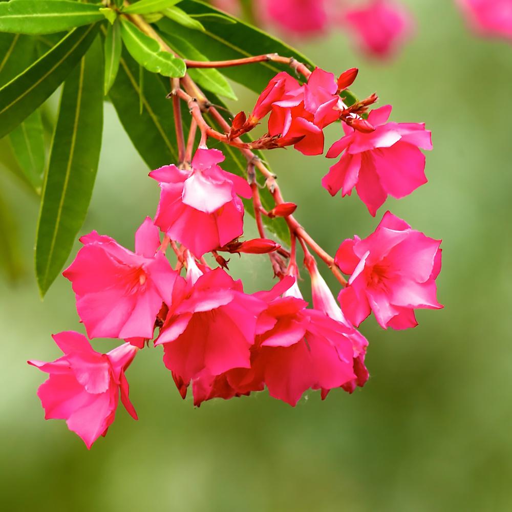 Oleander Standort Garten: Neudorff: Oleander (Nerium Oleander