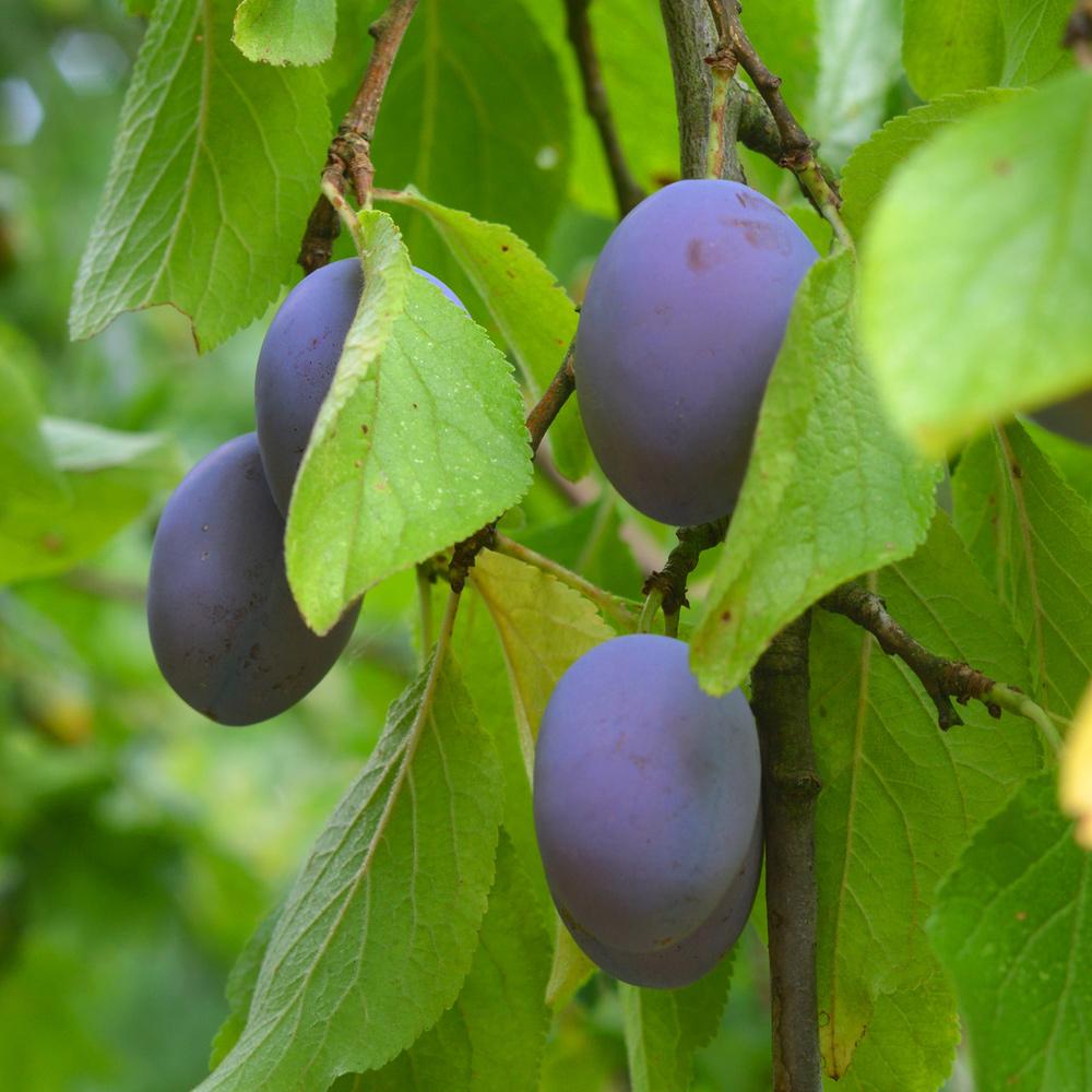 Neudorff Pflaumen Zwetschgen Prunus Domestica