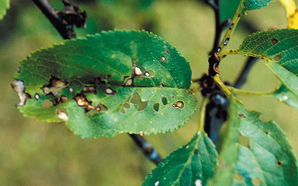 Pflanzenschadlinge weiss for Trauermucken insektizid